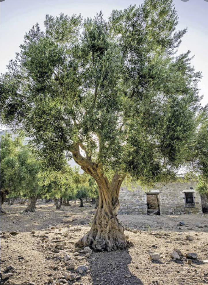 Now is a good time to review The Allegory of the Olive Tree w/ Snuffer commentary — figureoutwhatintheworldisgoingon.